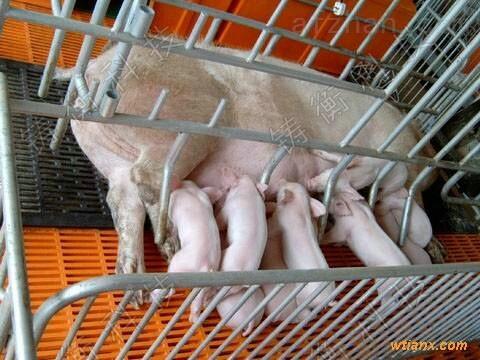 围栏秤-幼猪仔围栏秤