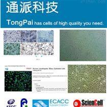 HConF细胞培养 HConF细胞系