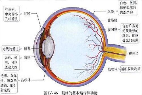 眼睛结构图(图片来源:百度图片)